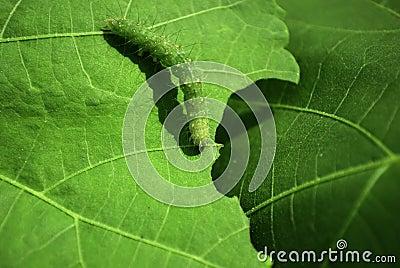 Macro Caterpillar on Leaf