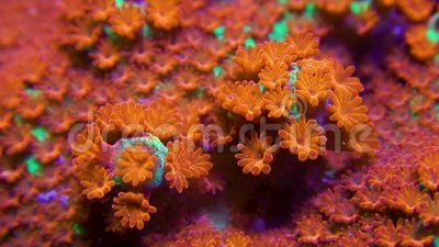 Macro clip of green and red montipora coral with polyp motion and zoom out. Very close macro clip of a green montipora coral with bright red polyps moving in stock video footage