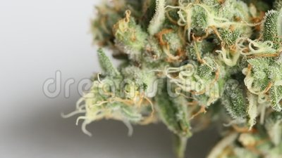 MACRO Close up of a female Cannabis flower on the day of harvesting. Focus pull camera technique stock footage