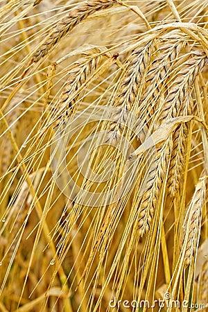 Macro closeup of ripe barley
