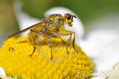 Macro of common yellow dung fly on daisy flower