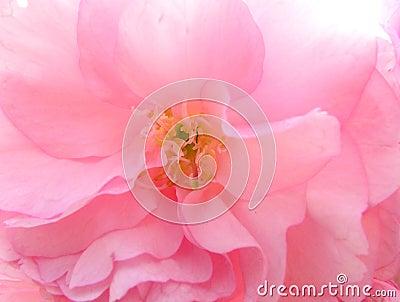 Macro da flor de cereja