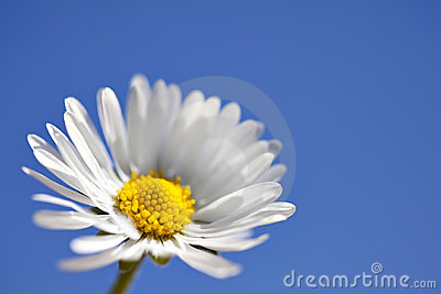 Macro Daisy on Blue