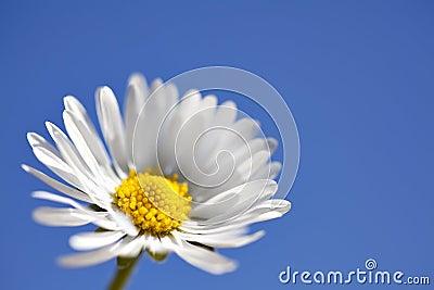 Macro Daisy on Blue