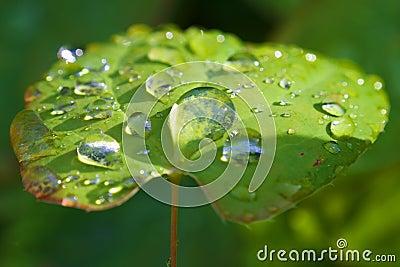 Macro das gotas em licença verde sunlit: ponto de condensação