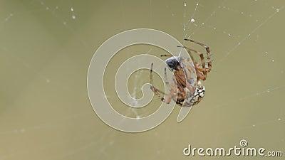 Macro de alimentación de la víctima de la araña de jardín almacen de metraje de vídeo