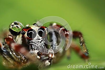 Macro de una araña de salto