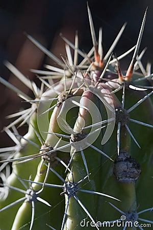 Macro del cactus