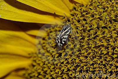 Macro detail of butterfly on sunflower