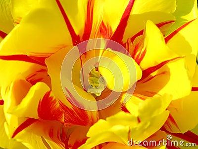 Macro detail of tulip blossom