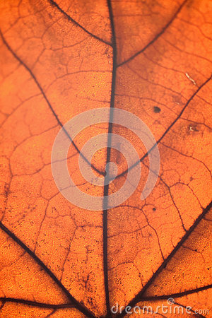 Free Macro Details Of Autumn Maple Leaf Through Sunlight Royalty Free Stock Images - 82765179