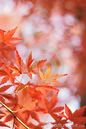 Free Macro Details Of Japanese Autumn Maple Leaves With Blurred Background Stock Image - 94993071