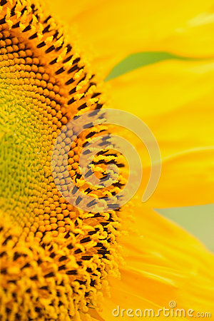 Free Macro Details Of Sunflower Surface Royalty Free Stock Images - 74705779