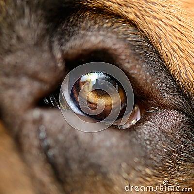 Macro dog eyes