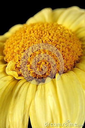 Macro of a dry daisy