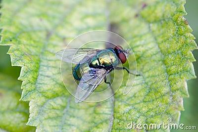 Macro of a fly