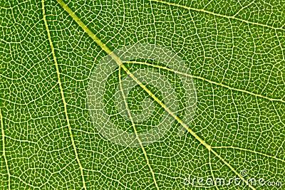 Macro green leaf