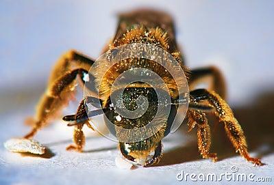 Macro of honey bee