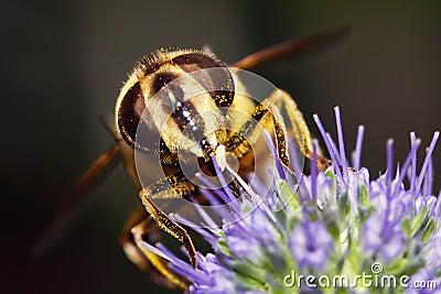 Macro of hoverfly