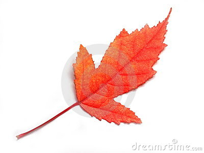 Macro image of red leaf isolated