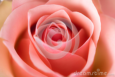 Macro image of rose
