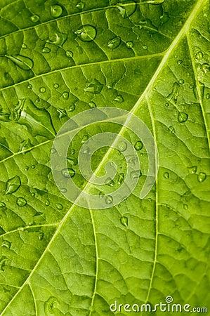 Free Macro In Leaf Royalty Free Stock Image - 11848516