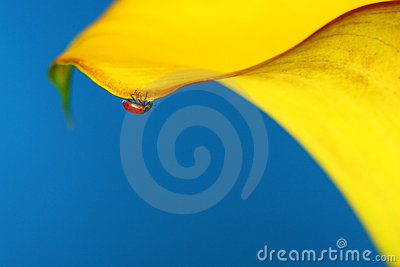Macro Lady Bug on a Yellow Lilly