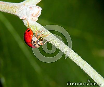 Macro of a ladybird