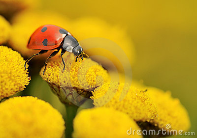 Macro of a ladybug on a yellow flower