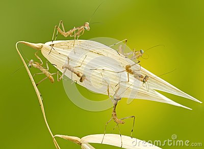 Macro of little praying mantises