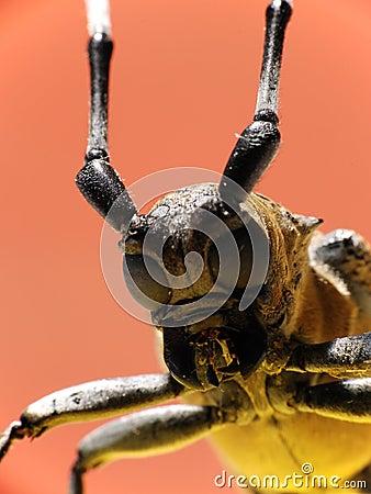 Free Macro Long-horned Beetle Stock Photo - 9655960