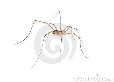 Macro of long legs spider