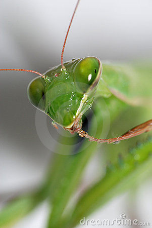 Macro mantis