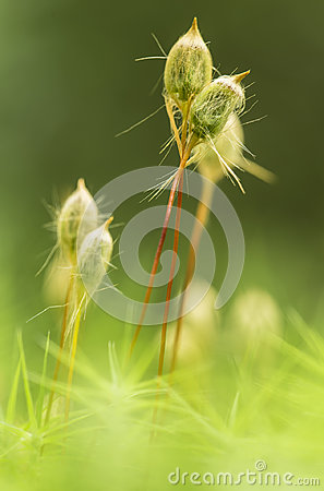 Free Macro Moss Of Kukushkin Flax Polytrichum Commune In The Forest Stock Photo - 97143430