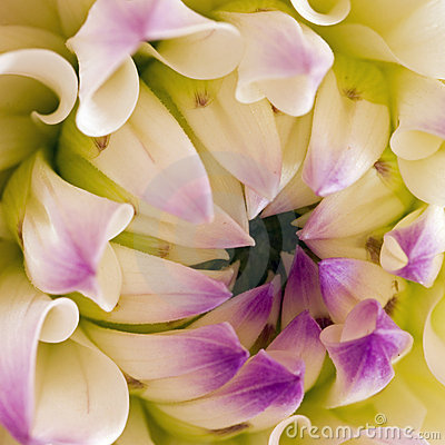 Free Macro Nepos Dahlia Blossom Sq Royalty Free Stock Photos - 5857918