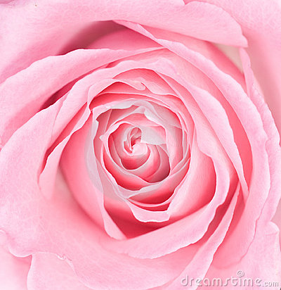 Free Macro Of A Pink Rose Stock Photography - 5200622