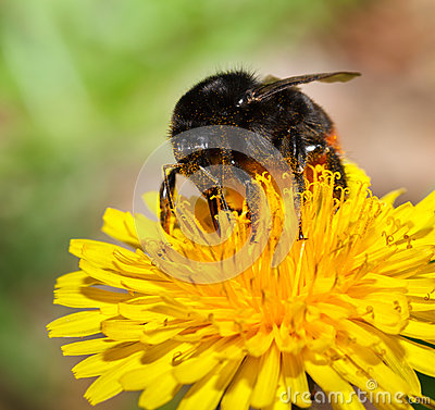 Free Macro Of Feeding Bumble Bee Royalty Free Stock Image - 45255286