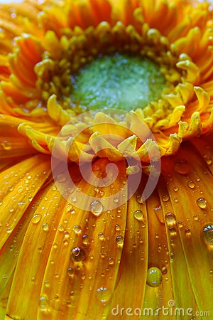Free Macro Of Gerbera Flower Wallpaper Stock Images - 104098864