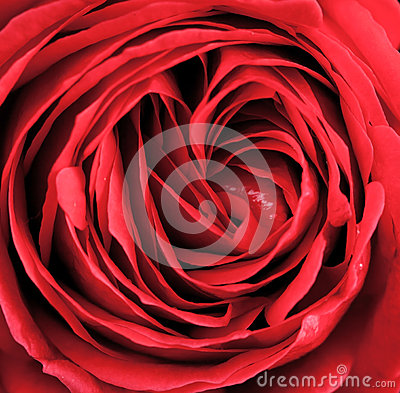 Free Macro Of Red Rose Royalty Free Stock Photo - 37711345