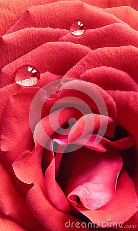 Free Macro Of Red Rose With Dewdrops Stock Photos - 103202333