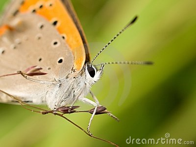 Macro of a orange butterfly