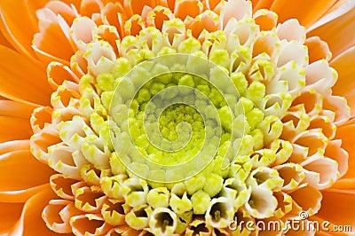 Macro orange flower petal