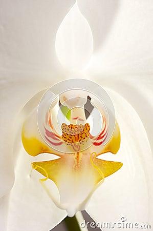 Macro Orchid Flower Blossom