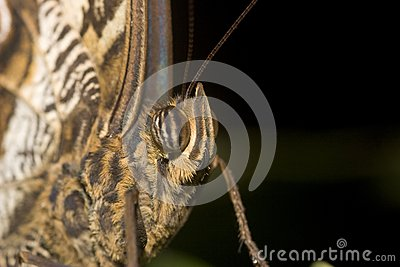 Macro of Owl butterfly