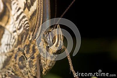 Macro of Owl butterfly