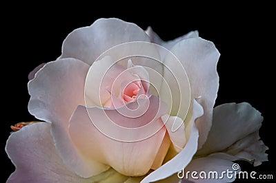 Macro of  Pale Pink Tea Rose Black Background