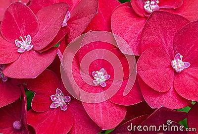 Macro photo of bright red hydrangea