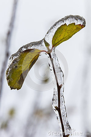 Macro photo of leaves frozen and covered with deep layer of ice