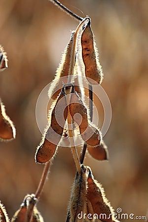 Macro photo of soybeans