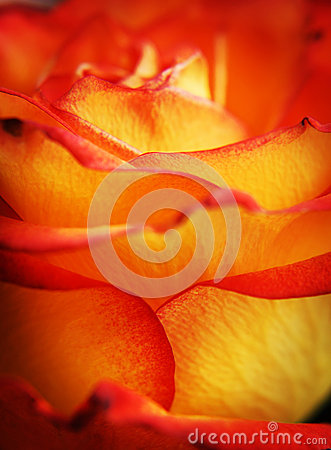 Macro photograph of rose bud